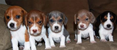 beagle colors adorable pups come in many types colors and sizes
