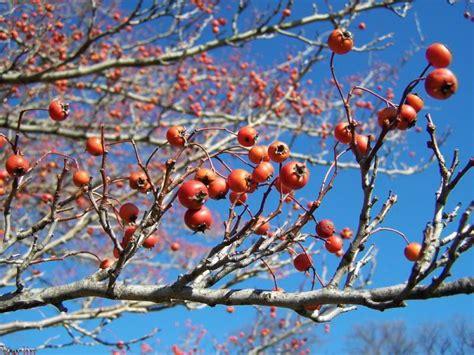 what deciduous tree has berries in winter green hawthorn crataegus viridis winter king