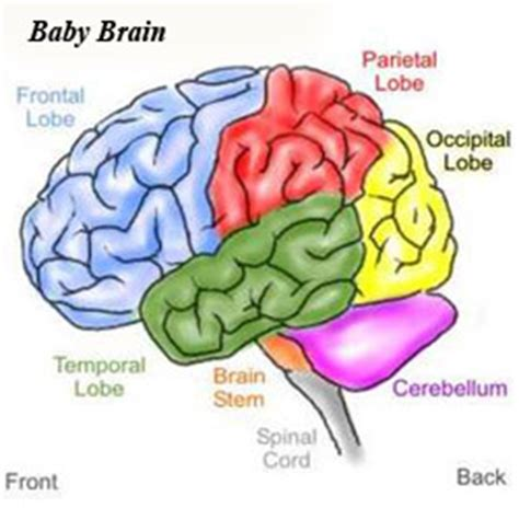 Baby Brain by Brainstudiesmash Infancy