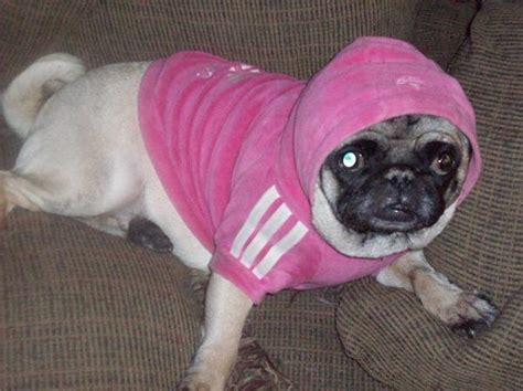cutest pug in the whole world the cutest pug in the world f f info 2017