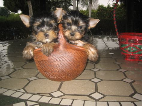 perros yorkie en venta comprar perros venta