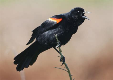 a red winged blackbird gets anxious for spring ny harbor