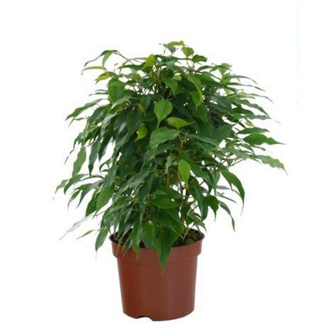 Ficus Interior Ficus Benjamina Danielle C12 Buy Ficus Benjamina