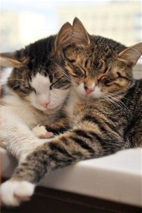 and cat cuddling two cuddling cats cuddle cats cats and cuddling