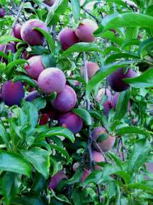 problems with plum trees common diseases of plum trees