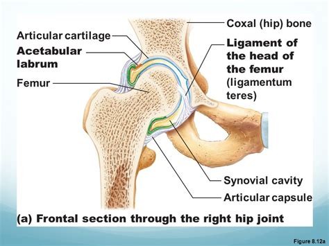 Frontal Section Of The Hip Joint by Classification Of Synovial Joints Ppt
