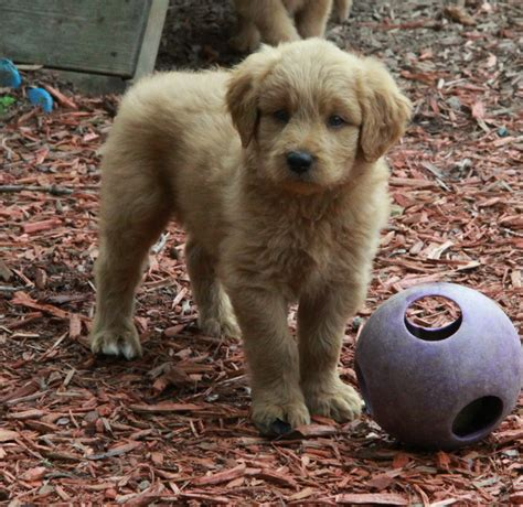 golden retrievers for sale ontario golden retriever for sale hamilton ontario photo