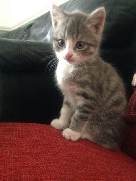grey and white grey and white silver tabby kittens ready now bristol