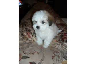 havanese breeders colorado havanese puppies in colorado