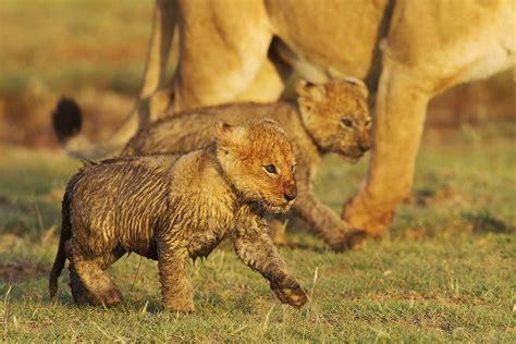 Beautiful Lion Cubs