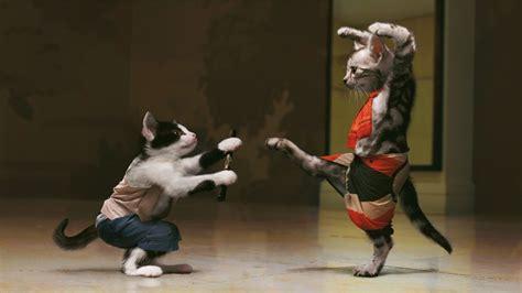 japanese fighting japan kittens fighting wallpaper photo humor hd desktop wallpapers chainimage