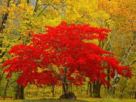 nature four seasons autumn blaze maple tree