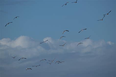 flock  birds flying  sky  sunset  stock