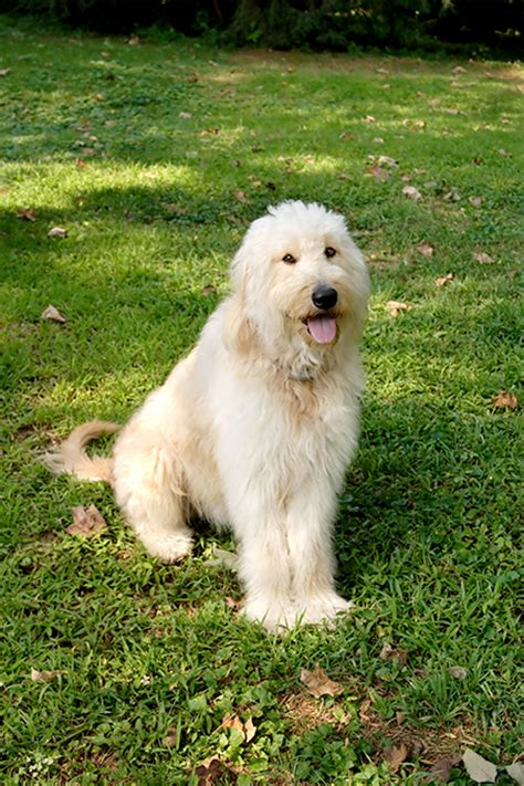 doodle breeds golden doodle www pixshark images galleries with a bite