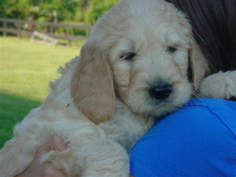 goldendoodle puppy dc labradoodle puppy for sale goldendoodle puppy for sale