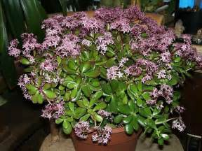 Flowering Jade Plants - jade plants how to grow and care for a jade tree plant