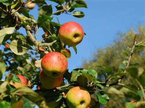 michigan fruit trees for sale think fruit trees for sale now until april 6 st