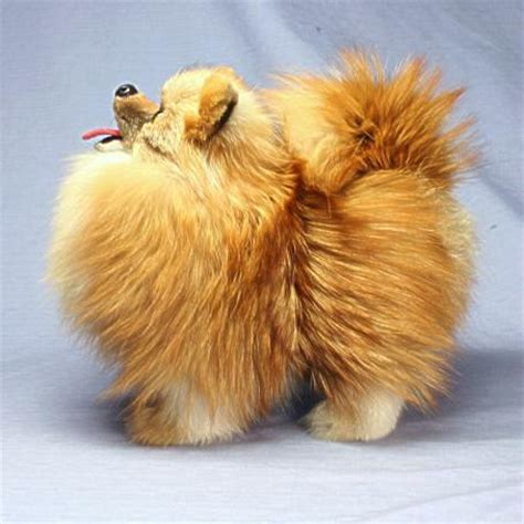 pomeranian stuffed animal ranran rakuten global market pomeranian plush stuffed specialities fur