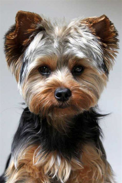 how to cut a yorkie poo s hair yorkie puppy cut what is a puppy cut yorkiemag