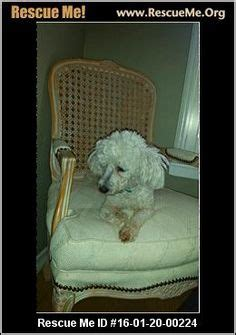havanese rescue dallas 1000 images about dogs need to be adopted havanese cotons maltese poodles