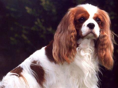 Кавалер-кинг-чарльз-спаниель фото обои собак, фото обои ...