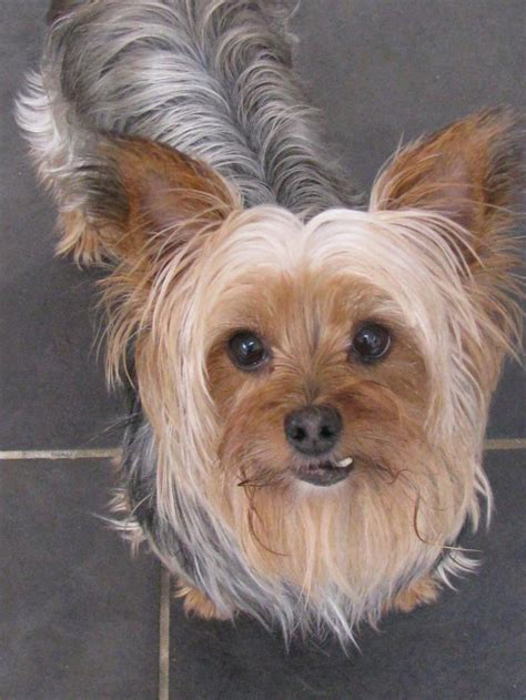 taunton yorkie rescue best 25 terrier rescue ideas on terrier haircut