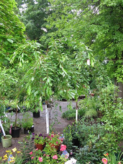 victoria gardens weeping cherry trees pendula