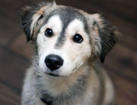 husky and lab mix puppies siberian retriever the siberian husky and labrador retriever mix not in the