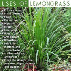 1000+ images about Lemongrass Young Living on Pinterest ... Lemongrass Benefits Cancer