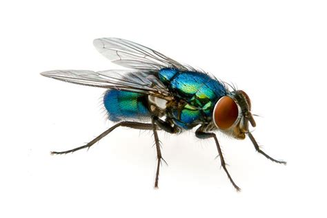 Blus Fly blue bottle fly ideas blue and bottle