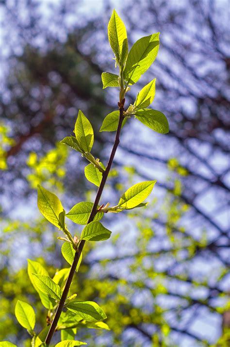 Daun Semi gambar pohon alam hutan cabang mekar menanam sinar