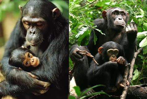 chimp facts animal facts encyclopedia