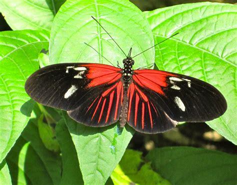 hodie mihi cras tibi butterfly rainforest