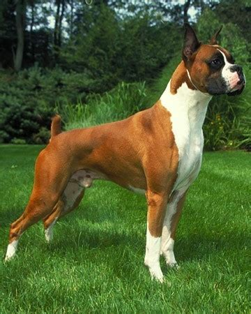 buy boxer puppy boxer dogs for sale what to about the breed before you buy