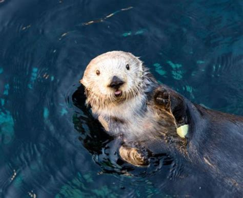 sea otter slippers 179 best images about sea otters on