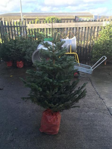 looking after your christmas tree zoar s ark