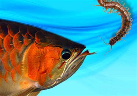 Pakan Ikan Hias Kecil porsi pemberian pakan arwana dunia afrina