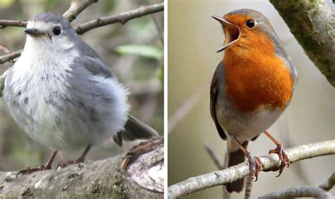 what color are robins mutant grey robin spotted in uk nature news express