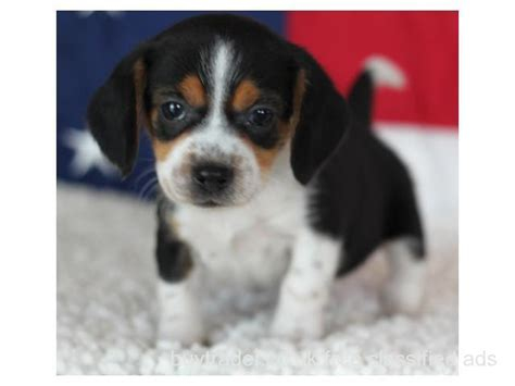 free dogs for adoption mini beagles for adoption breeds picture