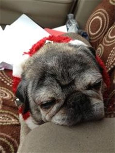 pug rescue columbus ohio 17 best images about rescue dogs need homes on adoption washington and