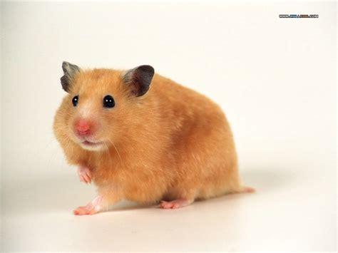 Hamster Syrian Hitam hamster spesiale pojokane indranesta