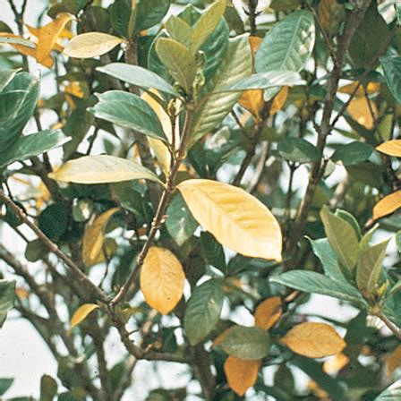Gardenia Diseases Gardenia Plant Disease And Insect Identification Ortho