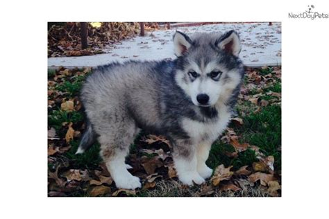 siberian husky puppies for sale in oklahoma siberian husky puppy for sale near lawton oklahoma 40d90a1f ccb1