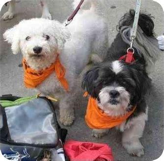 shih tzu mix puppies chicago walter felix adopted chicago il bichon frise shih tzu mix