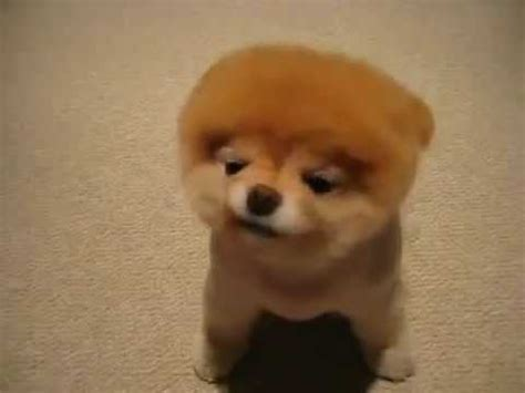 how to shave a pomeranian like boo what kinds of haircuts can pomeranians get yahoo answers