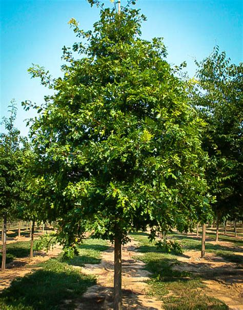 tree for sale scarlet oak tree for sale the tree center