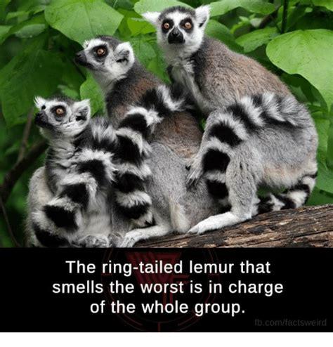 Lemur Meme - 25 best memes about lemure lemure memes