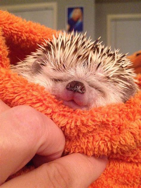 cute baby hedgehog smiling 10 adorable hedgehog pics to celebrate hedgehog day