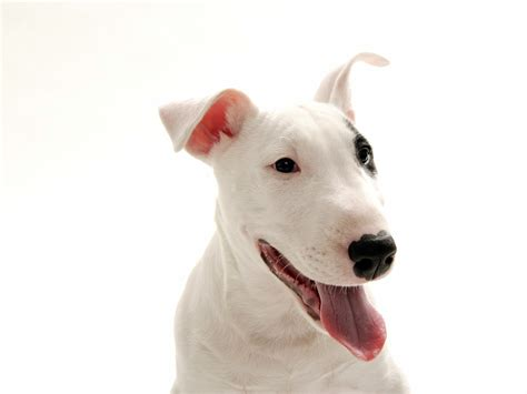 puppy bull terrier dogs images bull terrier hd wallpaper and background photos 13248699