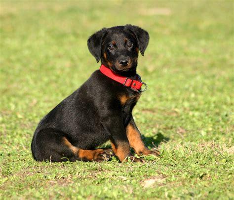 beauceron puppies beauceron beauceron breeds